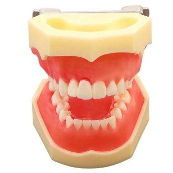 Model educational parodontologie UM-E1